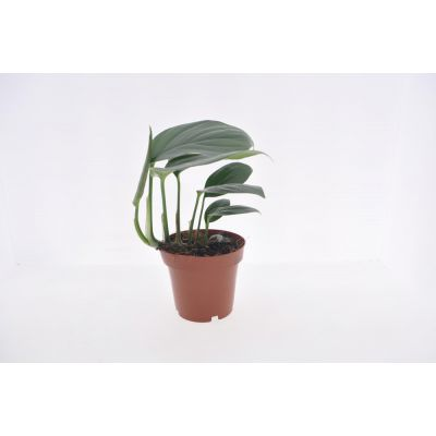 Philodendron  Kylin Tail