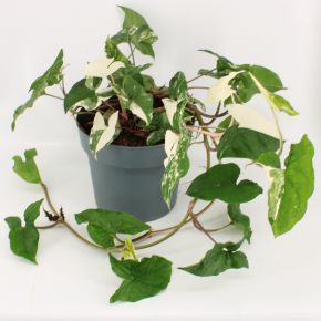 Syngonium Albo Variegated - With many leaves