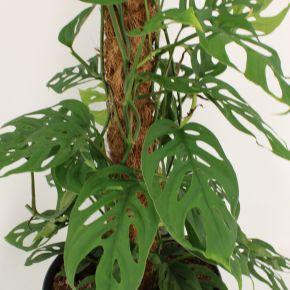Monstera adansonii Laniata - moss stick 80 cm