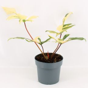 Philodendron Florida Beauty