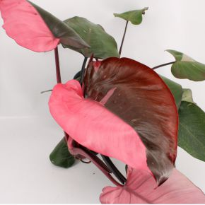 Philodendron Pink Princess - Growers Choice