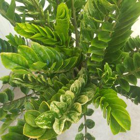 Zamioculcas zamiifolia Lucky White