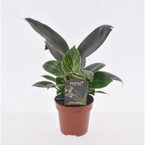 Philodendron White Wave Mutant