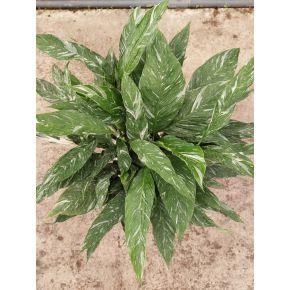 Spathiphyllum Diamond XL