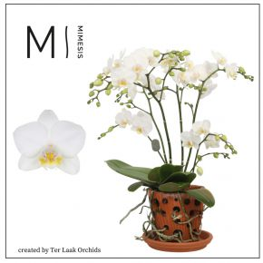 Phalaenopsis Multifloratypes Floriclone Snowflake in Terracotta