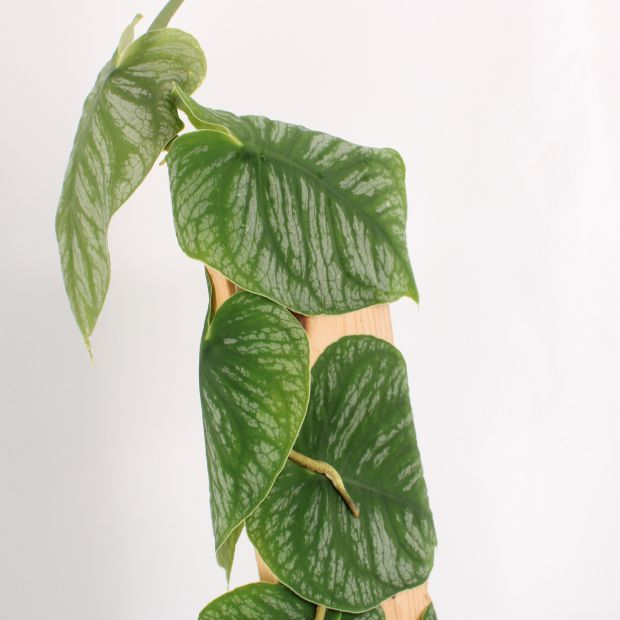 Monstera Dubia - With many leaves