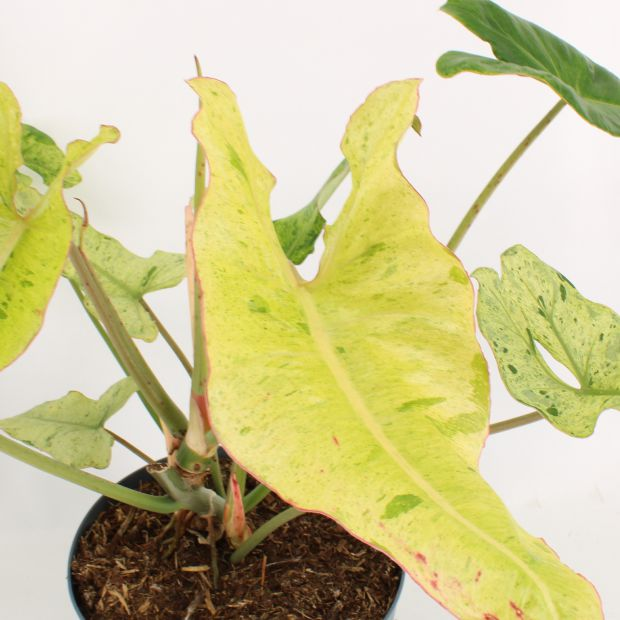 Philodendron Paraiso Verde Variegated
