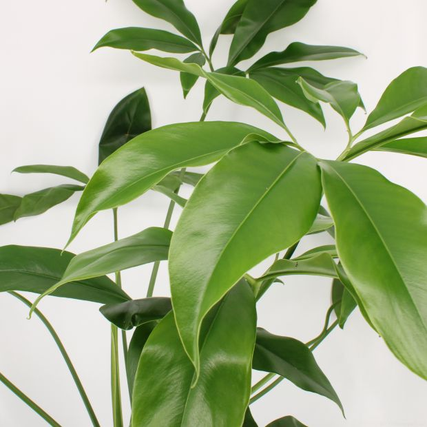 Philodendron Play