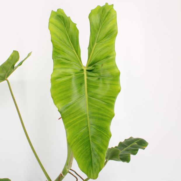 Philodendron Billietiae - Growers Choice