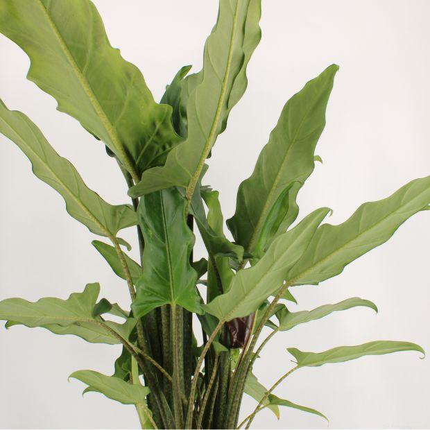 Alocasia Green Lauterbachiana