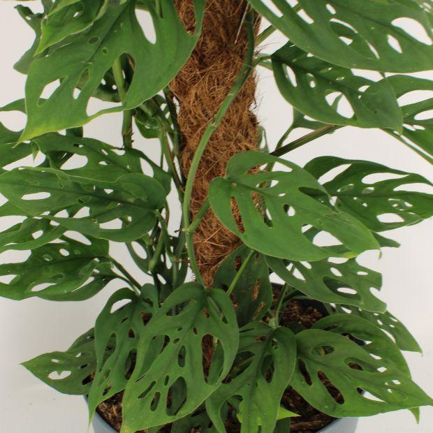 Monstera adansonii Laniata - moss stick 100 cm