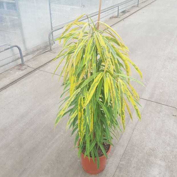 Ficus binnendijkii Amstel Green Gold
