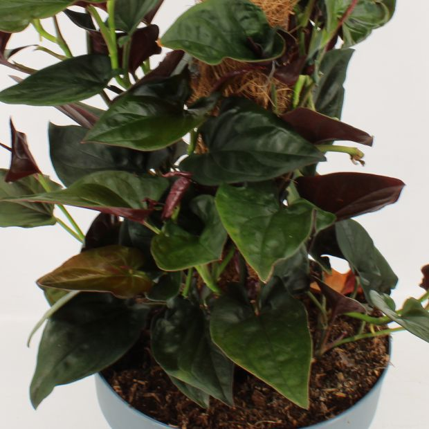 Syngonium erythrophyllum Red