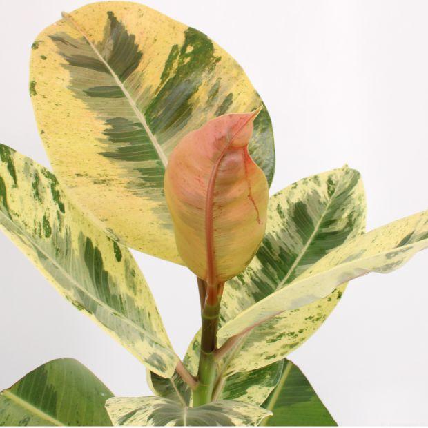 Ficus elastica Moonshine