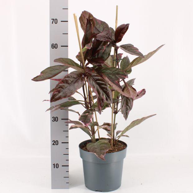 Pseuderanthemum atropurpureum 'Tricolor'