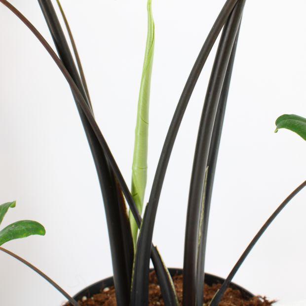 Alocasia Black Zebrina
