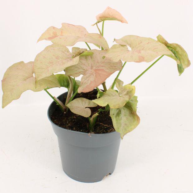Syngonium Pink Spot - 8 plants