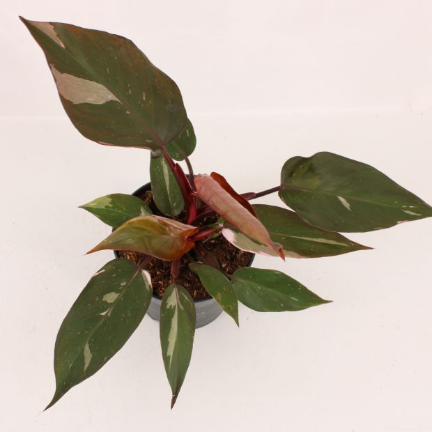 Philodendron Pink Princess Marble