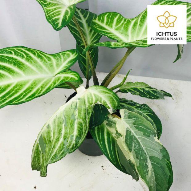 Xanthosoma Lindenii Variagated