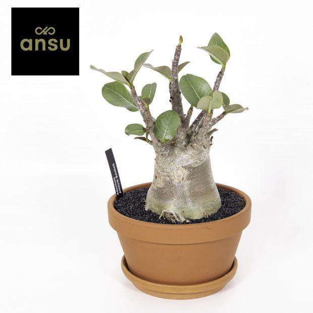 Adenium Ansu Baobab niet bloeiend