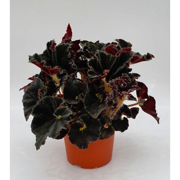 Begonia Evy