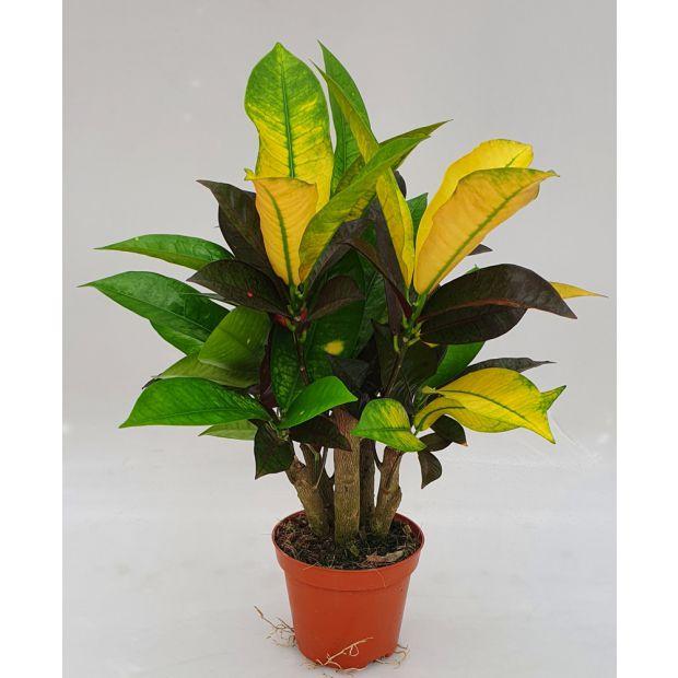 Codiaeum variegatum Mrs. Iceton