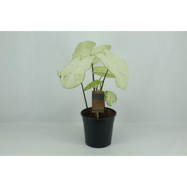 XL Caladium Garden White (Piece of Jungle)
