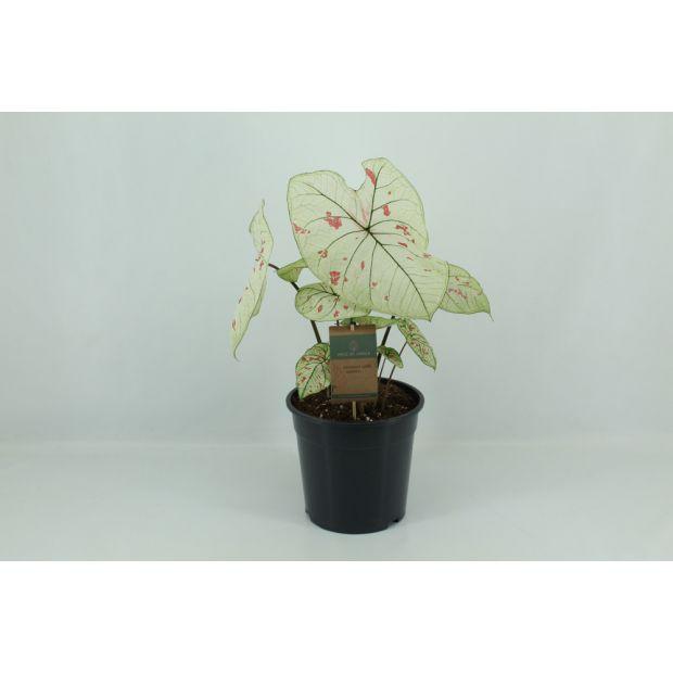 XL Caladium Strawberry Star (Piece of Jungle)