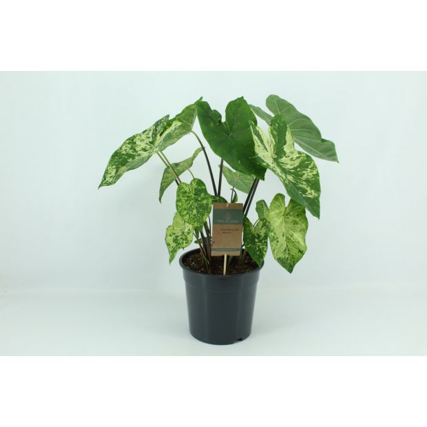 XL Caladium Frog in a Blender (Piece of Jungle)
