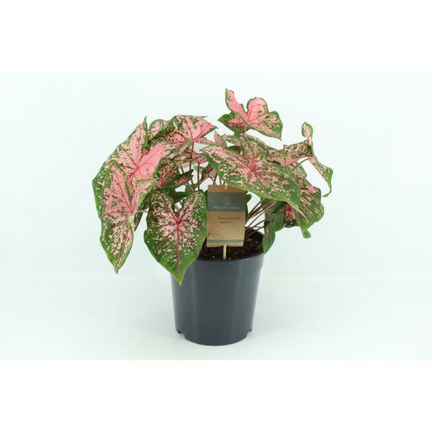 XL Caladium Pink Beauty (Piece of Jungle)