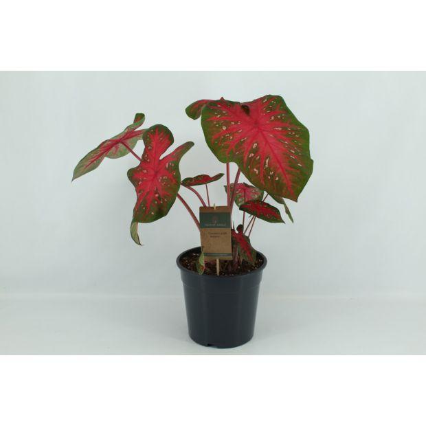 XL Caladium Red Flash (Piece of Jungle)