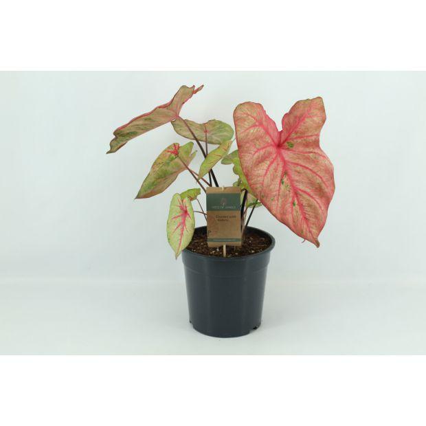 XL Caladium Autumn Beauty (Piece of Jungle)