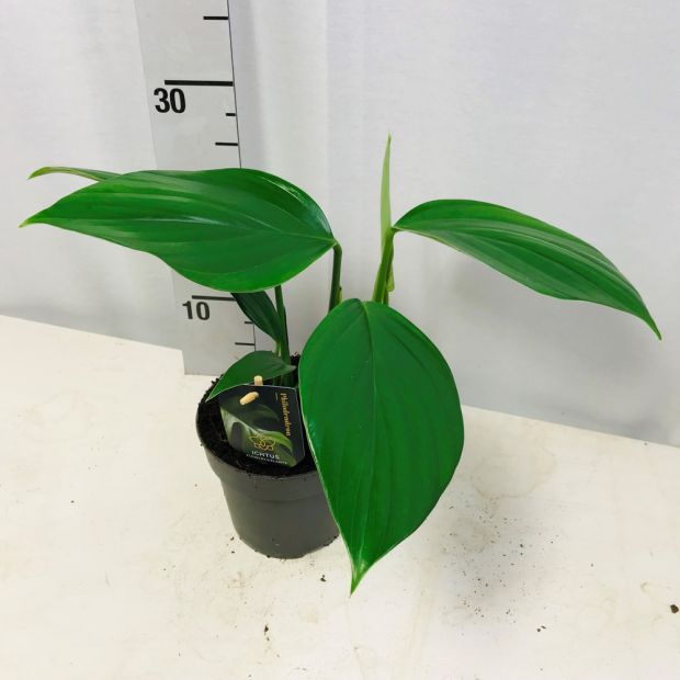 Philodendron Dragon Tail