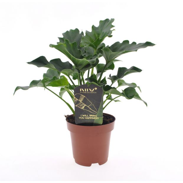 Philodendron PH01