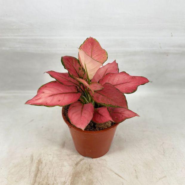 Aglaonema Pink Star
