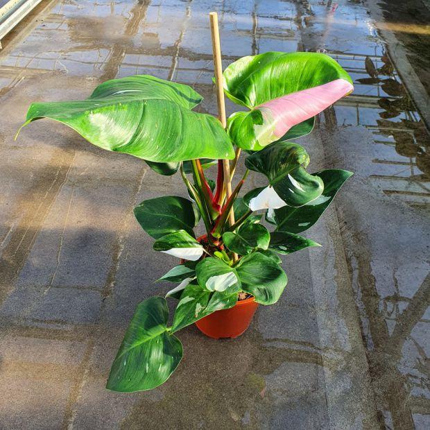 Philodendron Bicolor Princess