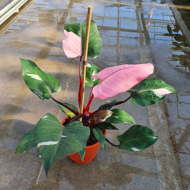Philodendron Pink Princess Full Moon